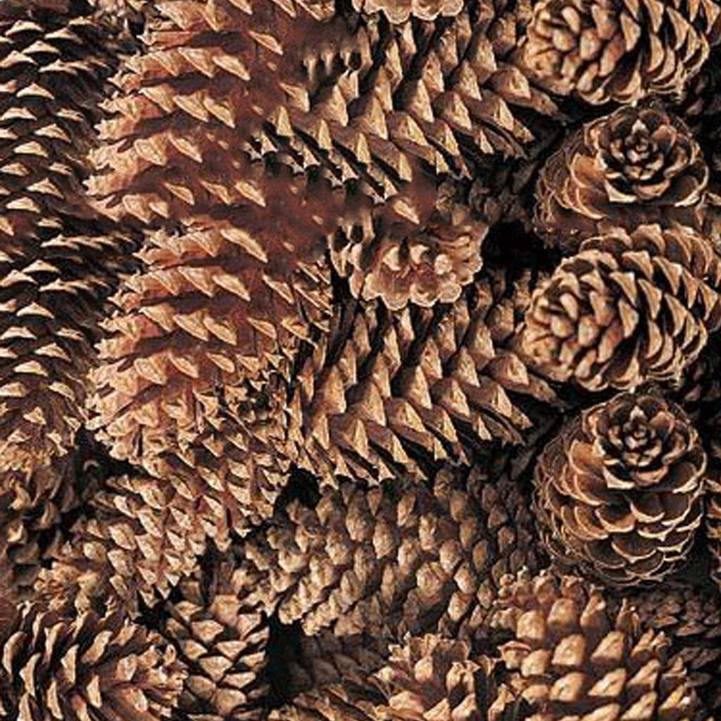 "Natural Medium Pine Cones 100 per Box 3-5"" Long - Alforal.com"